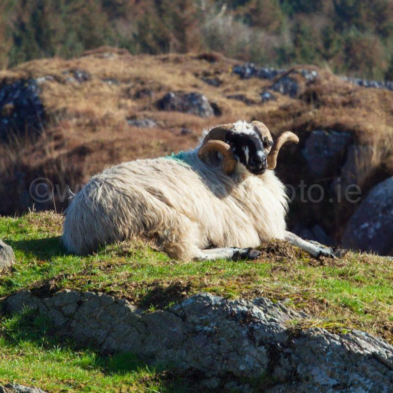 Ram on a Rock