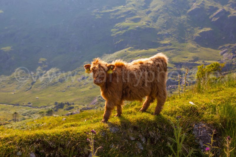 Wooly Calf